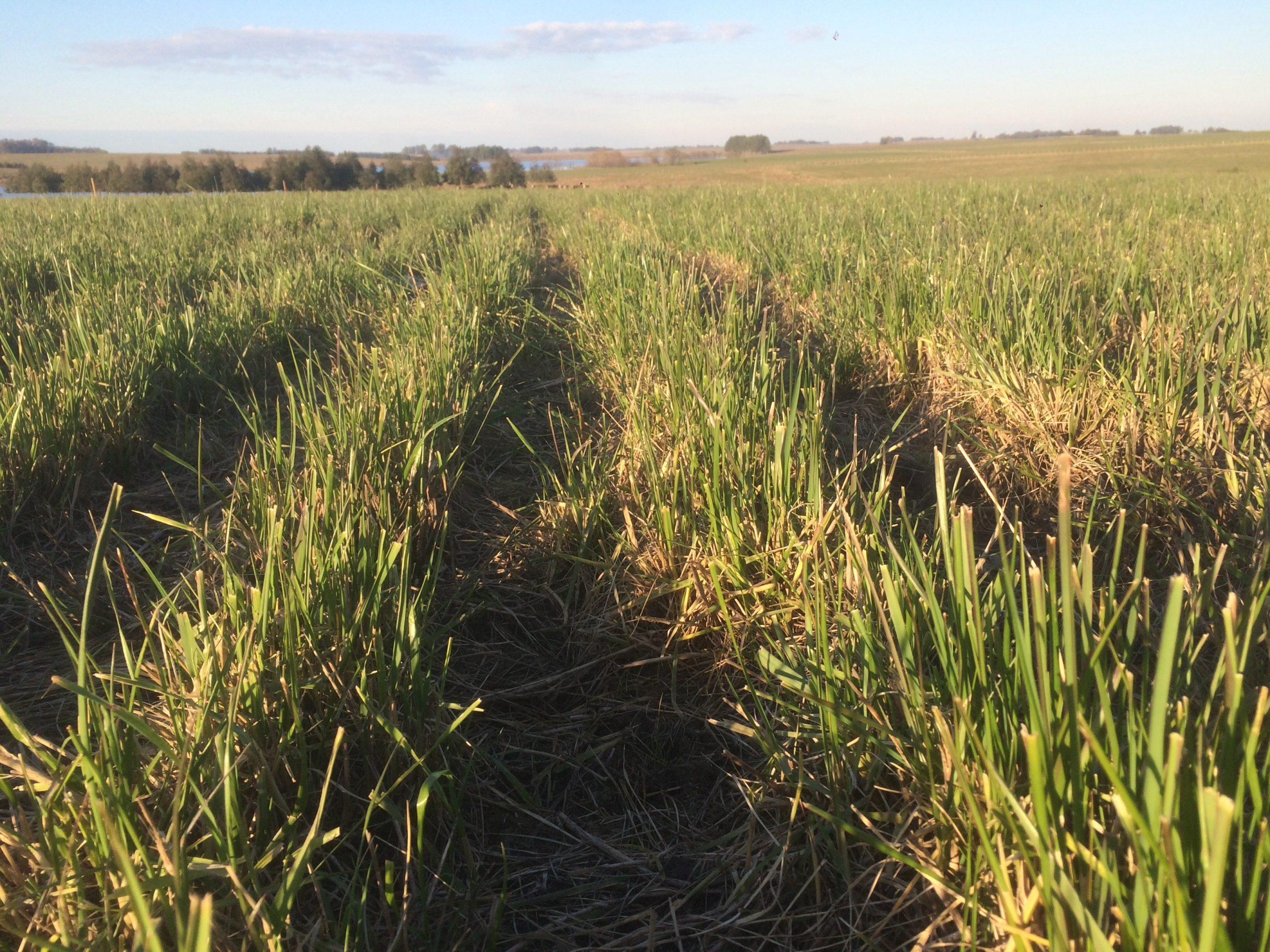 Alfalfa + Festuca: sinergia y optimización del recurso forrajero todo el año